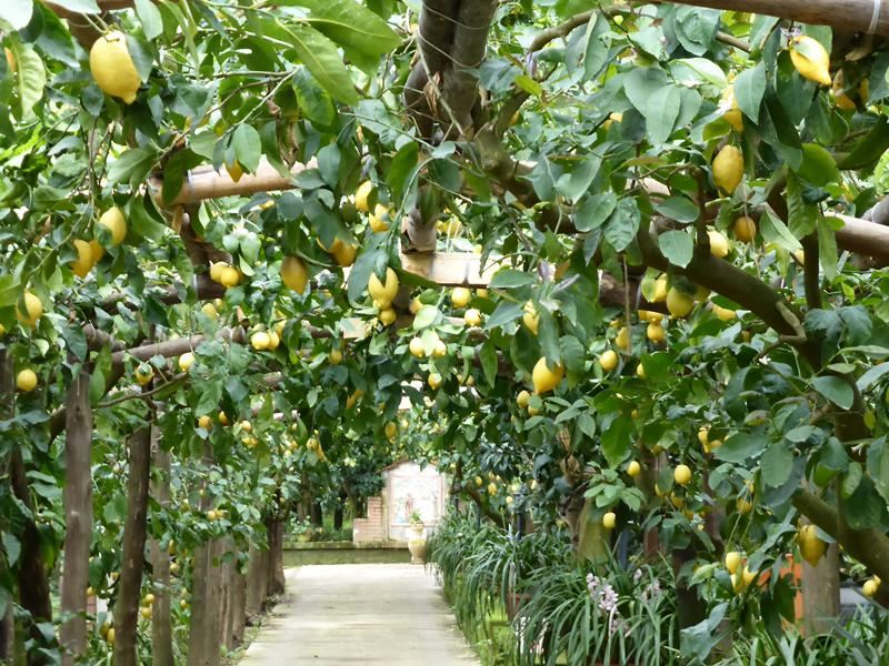 大きなレモンの畑には一つ一つ大切に育てられた無農薬のレモン