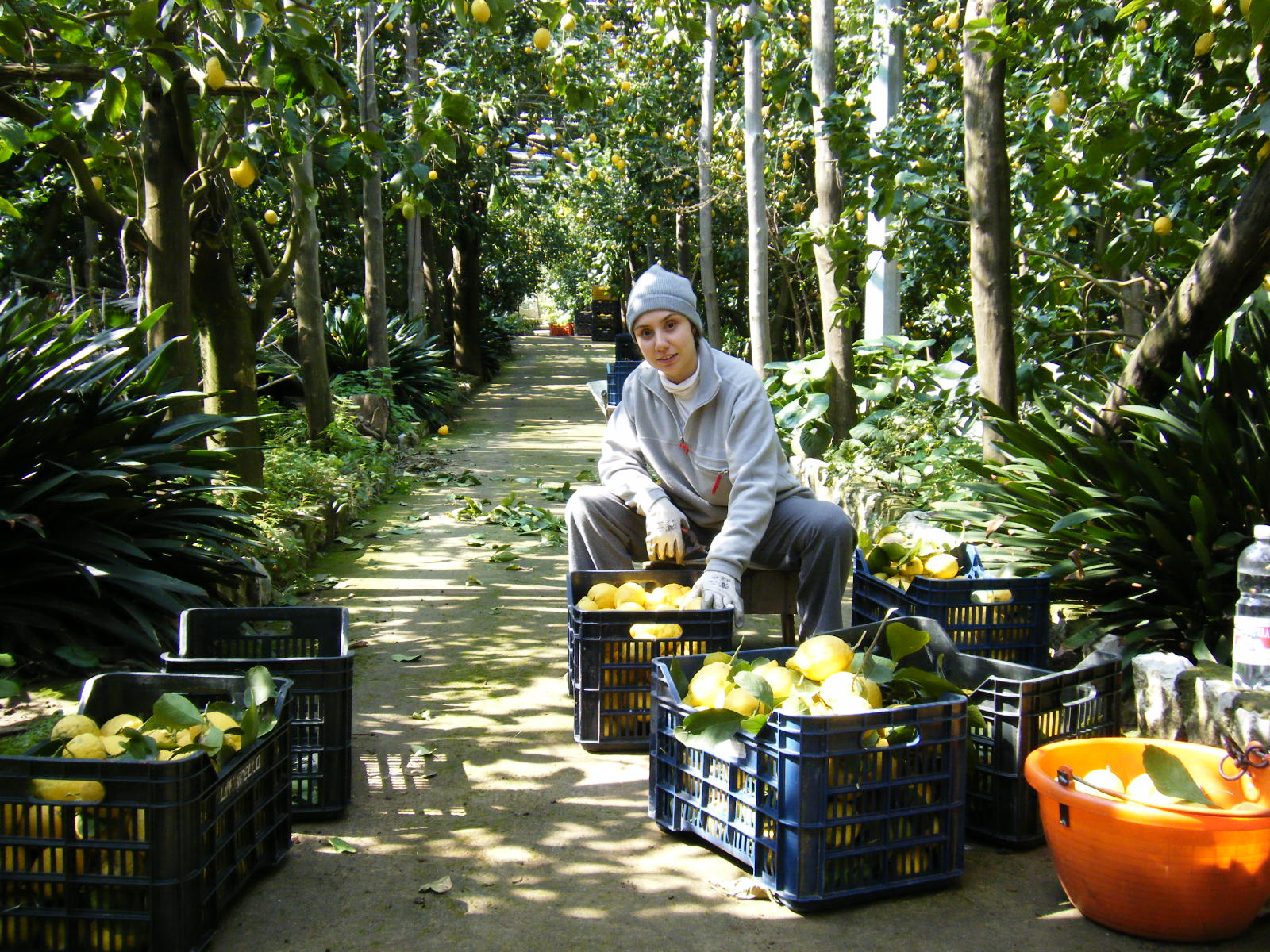 レモンの収穫は一つ一つ手摘みです。大切に育て上げられた無農薬レモン