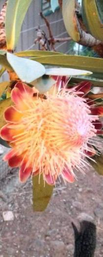 Protea Cafra
