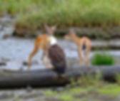 Herring Cove 2 deer and eagle.jpg