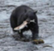 Herring Cove Bear Fishing.jpg