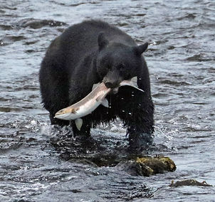 Herring Cove Bear Fishing.jpg