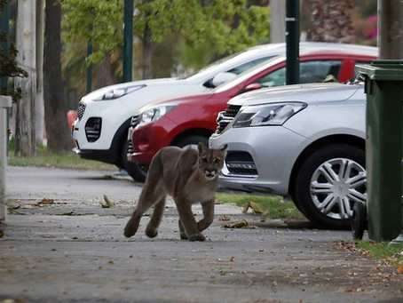 ¿Un Puma perdido o lo estamos nosotros?