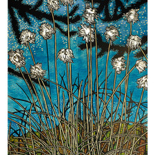 Cottongrass in Summer Swarm