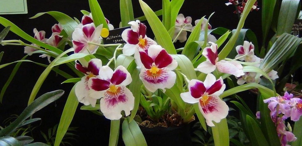 Miltonia compressed.JPG