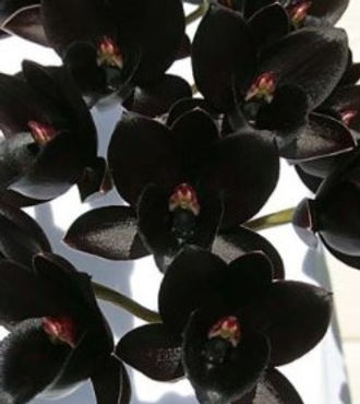 Fdk. After Dark 'Black Diamond' FCC-crop