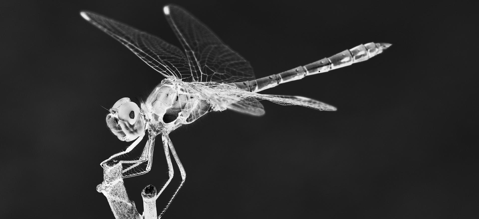 Röntgenfoto libelle