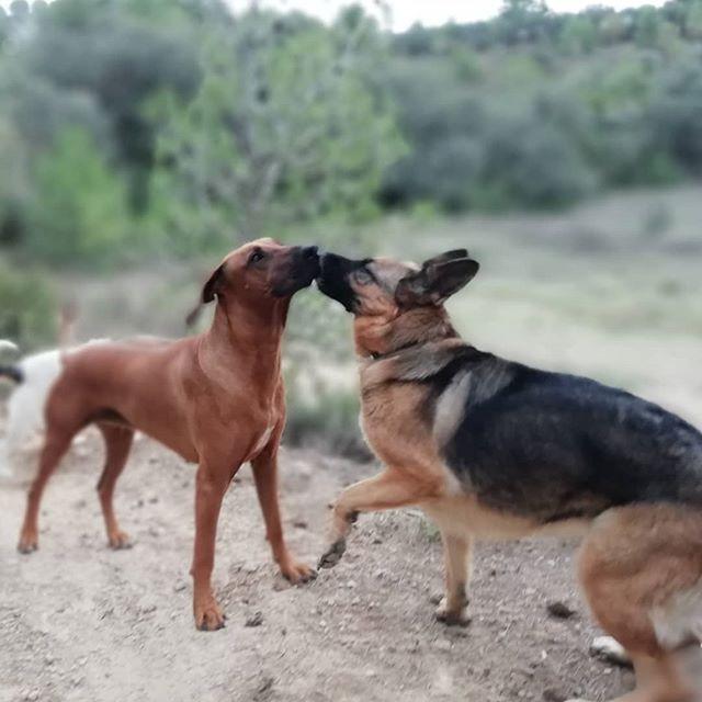 Kissing dogs💋❤️_#establodecrystal #hors