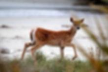 Stewart Island Deer