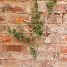 Eucalyptus tall