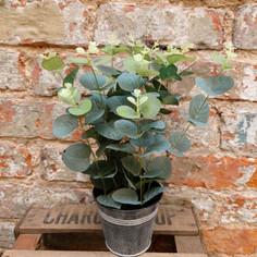 Eucalyptus tin