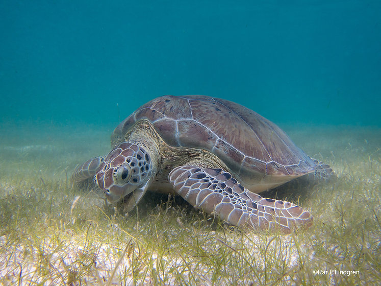 Green_Sea_Turtle_grazing_seagrass.jpg