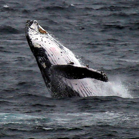Drones Monitor Whale Health
