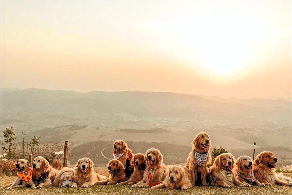Matilha de cães da raça golden no por-do-sol em Socorro.
