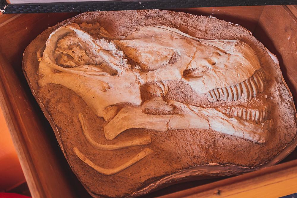 Réplica da ossada da cabeça do dinossauro encontrado em Coração de Jesus. Foto de Sandra Doyama do VK Guias Digitais Interativos
