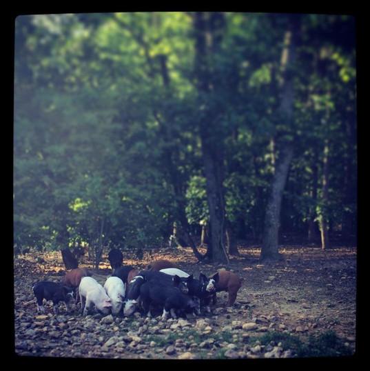 Pigs in the Wild.JPG