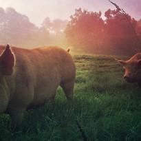 Pigs Dawn.JPG
