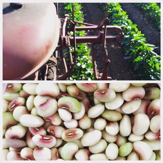 Field Peas.JPG