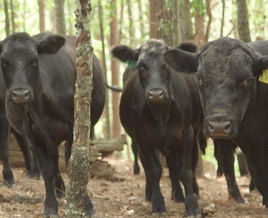 Cows.png