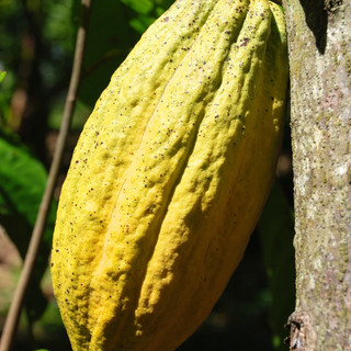Fuzzy to the touch Cacao pods.jpg