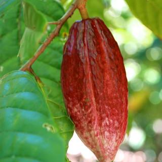 Red Cocoa Pod.jpg