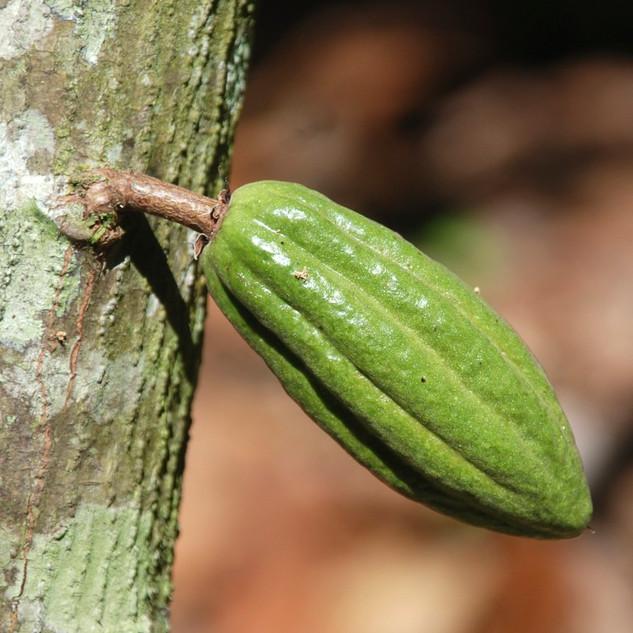 Cabosse de cacao sur un cacaoyer..jpg