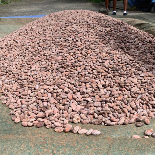 Cocoa beans drying.jpg