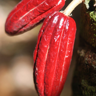 Red cocoa pods.jpg