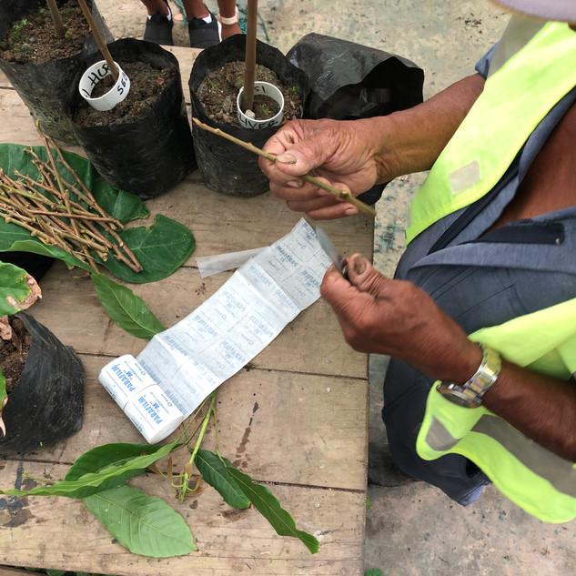 Grafting a Cacao Tree.jpg