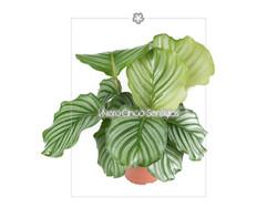 Calathea Fasciata 5s