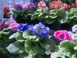 Primaveras Surtidas 5S