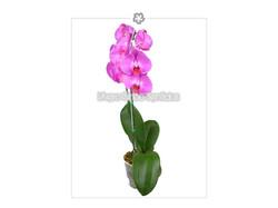 Phalaenopsis 5S