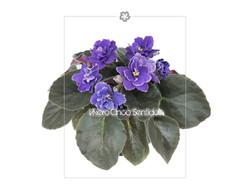 Violeta Africana 5s