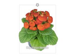 Calceolaria 5S