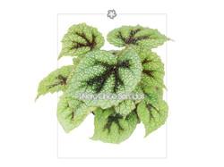 begonia mazoniana 5s