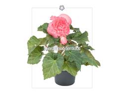 Begonia Flor 5S