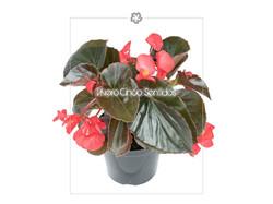 Begonia Big 5s