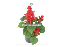 Salvia Ornamental 5S