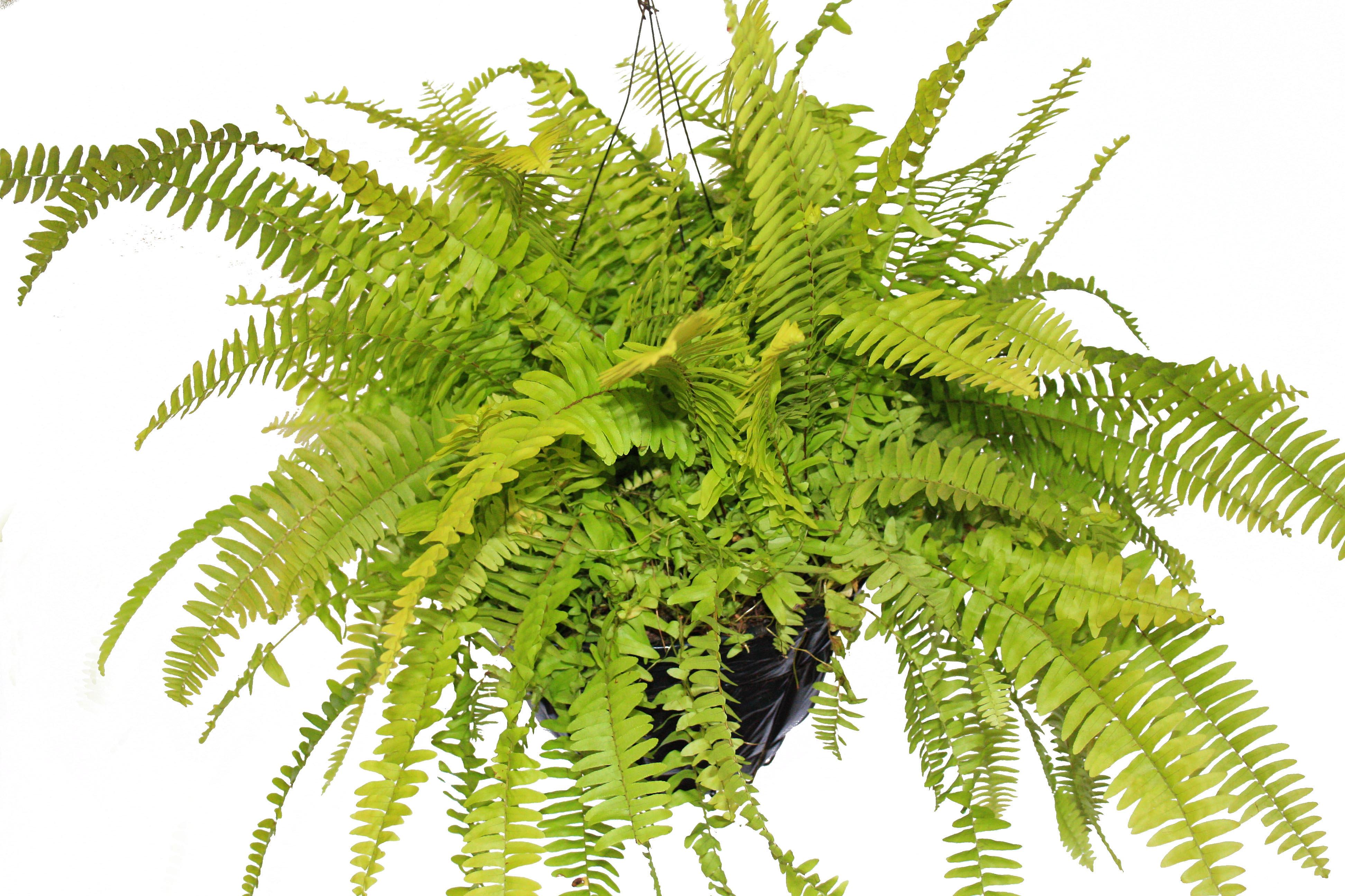 Plantas ornamentales vivero cinco sentidos aromaticas for Plantas ornamentales helechos