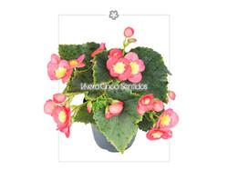 Begonia Elatior Valentino 5S