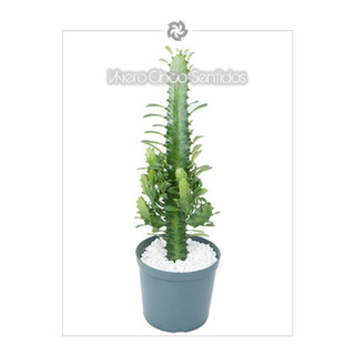Euphorbia 5S.jpg