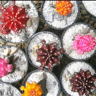 Cactus Coreanos Surtidos 5S