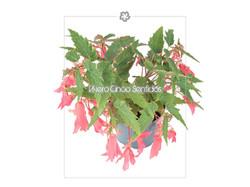 Begonia Santa Cruz 5S