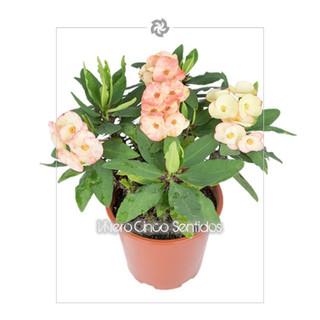 Euphorbia Milli 5s.jpg