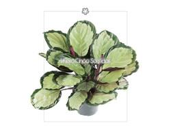 Calathea Corona 5s