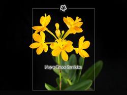 Epidendrum 5S