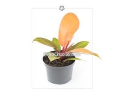 philoendro naranja 5s
