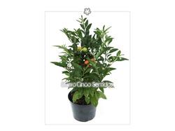 Solanum Mirtho 5s