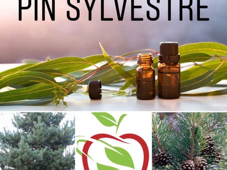 L'huile essentielle de PIN SYLVESTRE