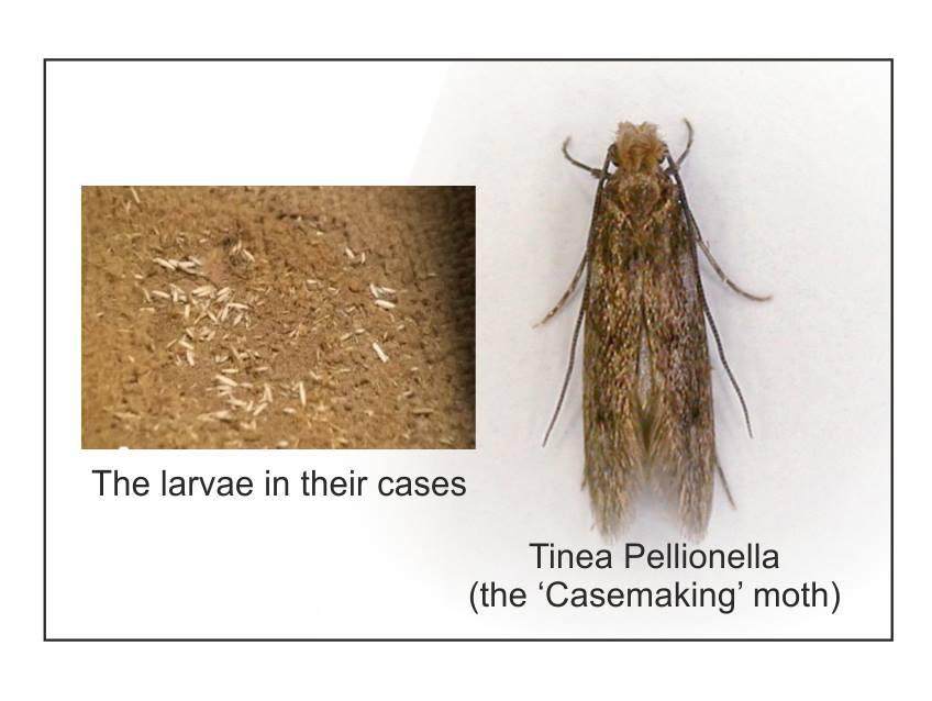 Carpet Moths